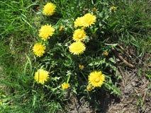 одуванчик цветет желтый цвет Стоковая Фотография RF