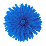 Одуванчик цветка голубой изолированный на белой предпосылке цветок бутона близкий вверх элемент конструкции рождества колокола Стоковые Фотографии RF