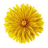 Одуванчик цветка желтый изолированный на белой предпосылке цветок бутона близкий вверх элемент конструкции рождества колокола Стоковая Фотография RF