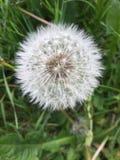 Одуванчик цветя в поле стоковая фотография rf