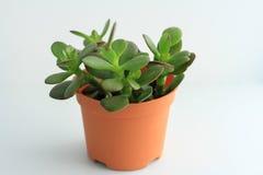 Ое-зелен Ovata Crassula яркое Стоковые Фотографии RF