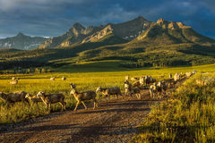 17-ое июля 2016 - rgraze овец на мезе Hastings около Ridgway, Колорадо от тележки Стоковые Изображения RF
