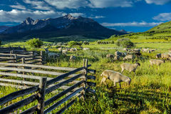 17-ое июля 2016 - rgraze овец на мезе Hastings около Ridgway, Колорадо от тележки Стоковые Фото