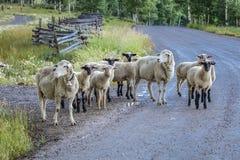17-ое июля 2016 - rgraze овец на мезе Hastings около Ridgway, Колорадо от тележки Стоковое Изображение RF