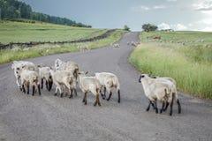 17-ое июля 2016 - rgraze овец на мезе Hastings около Ridgway, Колорадо от тележки Стоковое Изображение