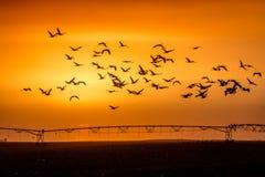 8-ое марта 2017 - птица воды грандиозного острова, Небраски - РЕКИ PLATTE, СОЕДИНЕННЫХ ШТАТОВ прилетные и краны Sandhill на их ве Стоковая Фотография RF