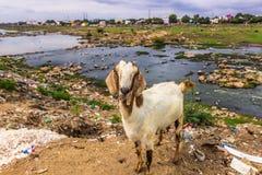 13-ое ноября 2014: Коза в окраинах Madurai, Индии Стоковое Изображение RF