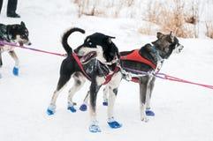 Ожидание собак скелетона на контрольно-пропускном пункте Стоковое Фото