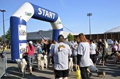 Ожидание собак для старта гонки Стоковая Фотография