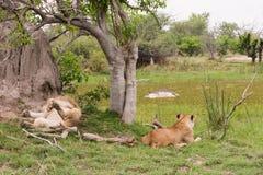 Ожидание львов для еды гиппопотама Стоковая Фотография