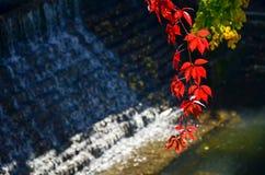 лоза виноградины одичалая виноградина выходит красный цвет Стоковое Фото