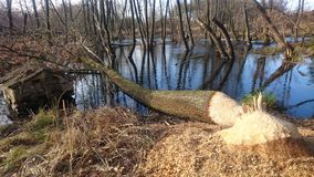 Озеро бобр Стоковое Изображение RF