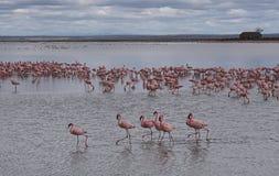 Озеро вполне фламинго стоковое изображение