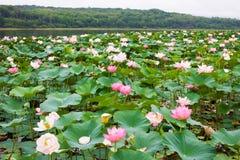 Озеро вполне зацветая розового восточного лотоса Стоковые Изображения RF