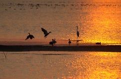 Озеро в золотом заходе солнца с утками и другими птицами заболоченного места Стоковая Фотография