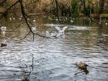 Озеро в парке с птицами, Истборне, Великобритании стоковые изображения