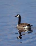 озеро гусыни Канады стоковая фотография rf
