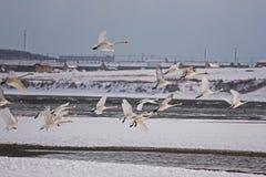 Озеро лебедя Rongcheng Стоковая Фотография