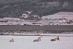 Озеро лебедя Rongcheng Стоковое Фото