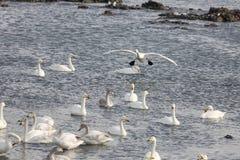 Озеро лебедя Rongcheng Стоковое Изображение