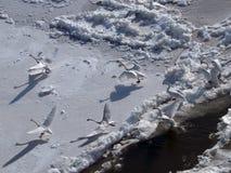 Озеро лебед стоковая фотография