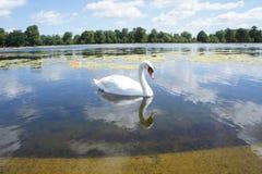 Озеро лебед Стоковые Фото