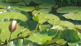 Озеро лес, лотос Стоковые Фото
