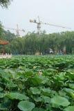 Озеро зацветая лотосов между кранами конструкции Стоковые Изображения