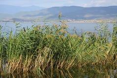 Озеро и зеленый тростник стоковое фото