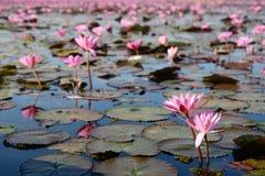 Озеро лилии красной воды Стоковые Изображения RF