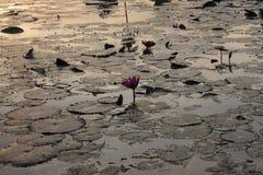 Озеро лили воды Стоковые Фотографии RF