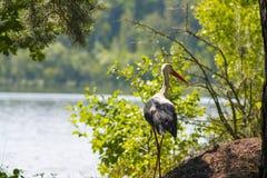 Озеро и лес аист Стоковое фото RF