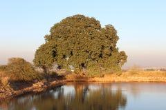 Озеро и толстая листва величественного дерева Стоковые Фото