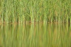 Озеро и тростник стоковые фотографии rf