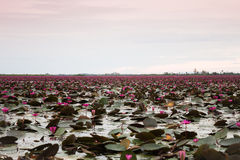 Озеро красного лотоса на Udonthani Таиланд (невиденный в Таиланде) Стоковое Изображение RF