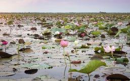 Озеро красного лотоса на Udonthani Таиланд (невиденный в Таиланде) стоковое фото rf