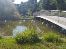 Озеро лебед стоковые изображения rf