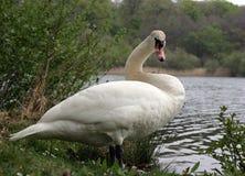 Озеро лебед Стоковые Фотографии RF
