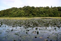 Озеро лес покрытое с пусковыми площадками лилии Стоковая Фотография RF