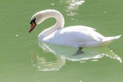озеро предпосылки плавает белизна лебедя Стоковые Изображения RF