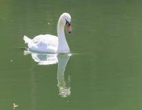 озеро предпосылки плавает белизна лебедя Стоковое фото RF