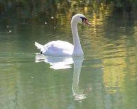 озеро предпосылки плавает белизна лебедя Стоковое Изображение RF