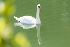 озеро предпосылки плавает белизна лебедя Стоковая Фотография