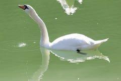 озеро предпосылки плавает белизна лебедя Стоковая Фотография RF
