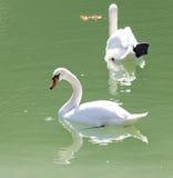 озеро предпосылки плавает белизна лебедя Стоковые Фотографии RF