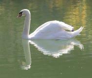 озеро предпосылки плавает белизна лебедя Стоковое Фото