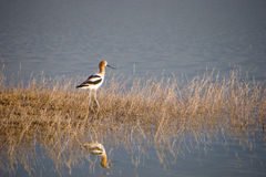 озеро птицы Стоковые Фотографии RF