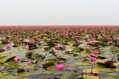 Озеро розового ландшафта лилии воды стоковая фотография rf