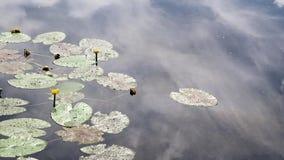 Озеро с желтыми вод-лилиями и красивое отражение неба с облаками сток-видео