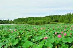 Озеро с красными цветками лотоса на предпосылке зеленого леса стоковая фотография rf